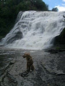 Honey the Golden Retriever sits in the mist of Ithaca Falls.