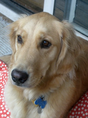 Honey the Golden Retrieve in close up.