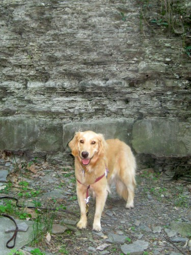 Honey the Golden Retriever stands in Fall Creek gorge.