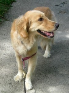 Honey is the Golden Retriever is looking for a moral center.