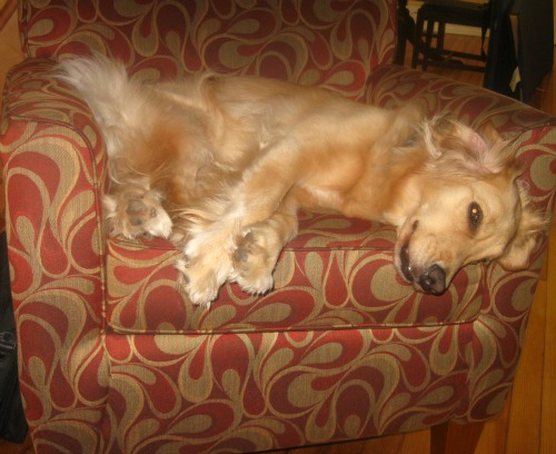 Honey the Golden Retriever lies down on the chair.