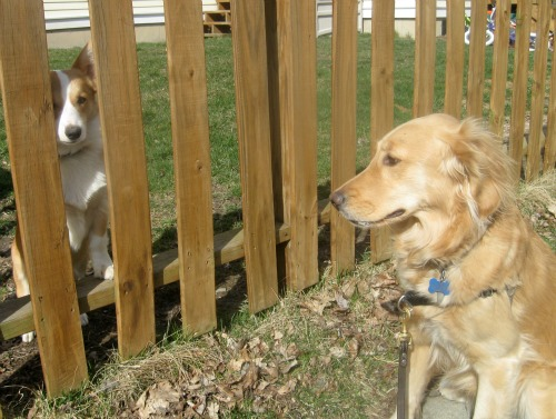 Honey the Golden Retriever meets a Corgi through the fence.