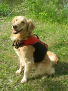 Honey the Golden Retriever poses in her life jacket.
