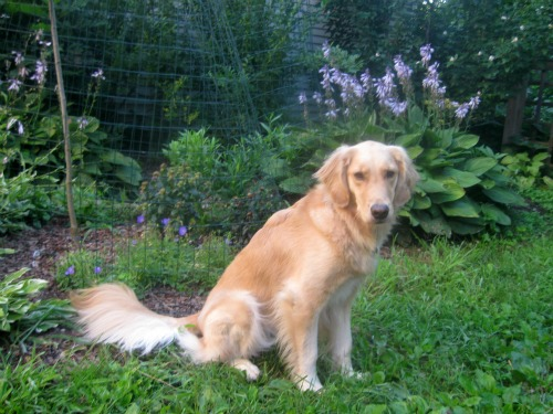 Honey the Golden Retriever sits next to some perennials protected by a fence.