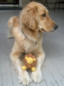 Honey the Golden Retriever loves her squeaky lion dog toy.