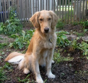 Honey the Golden Retriever sits on a strawberry plant next to an uprooted hosta.