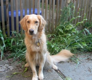 Honey the Golden Retriever sits in front of the squished spiderwort.