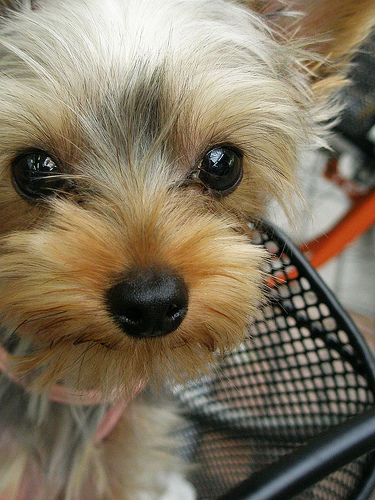 The face of a cute Yorkie.
