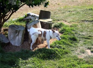 Little dog pees on a stump.