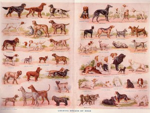 The leading dog breeds of 1911.