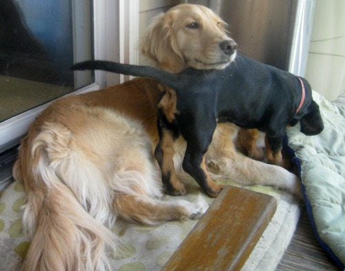 Honey the Golden Retriever uses Sally the foster puppy as a chin rest.