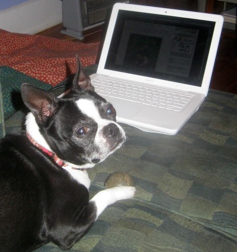 The Boston terrier thinks the computer is boring.