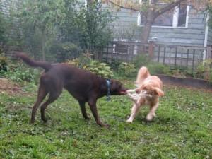 Honey the golden retriever wrestles with Cooper the chocolate labrador retriever.