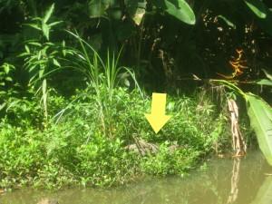 Crocodiles in Panama river.