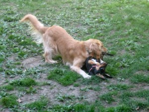 Honey the Golden Retriever plays with Sally the foster dog.