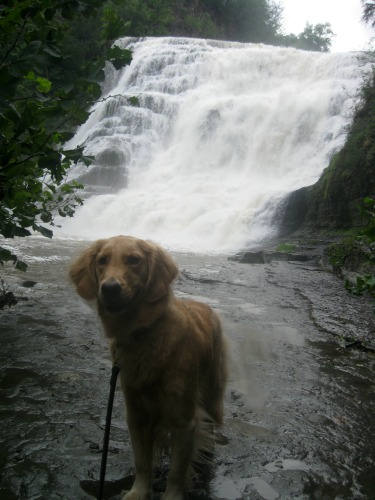Honey the golden retriever stands at Ithaca Falls.