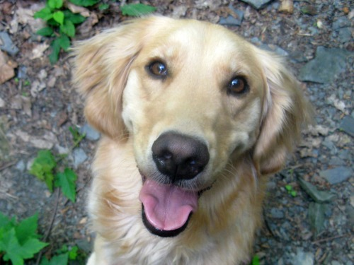 Honey the Golden Retriever is close up.