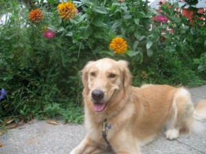 Honey the golden retriever poses with flowers.
