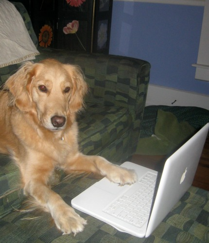 Honey the Golden Retriever looks at the laptop.