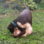 Honey the Golden Retriever wrestles with Cooper the chocolate labrador retriever.