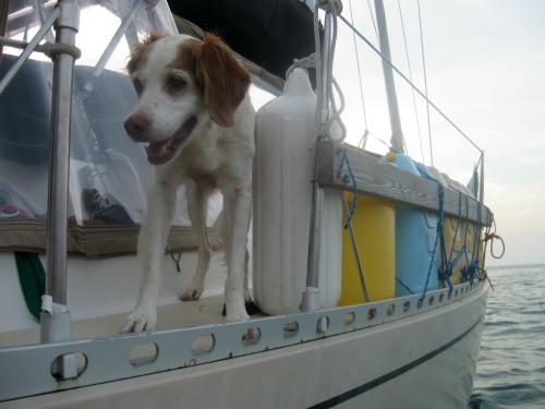 Loki is the Brittany Spaniel on the boat Infinity in the San Blas Islands.