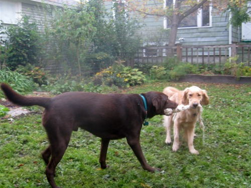 Honey the golden retriever has mixed emotions about playing tug with a chocolate lab.