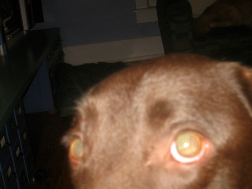 The chocolate lab photo bombs again.