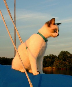 A sailing cat watches from a top the sailboat boom.