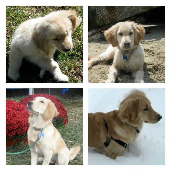 My golden retriever puppy in spring, summer, fall, and winter.