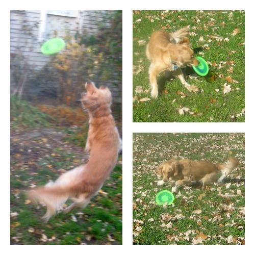 Honey the Golden Retriever tries to catch the Dogobie flying disc.