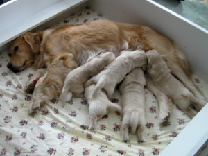 Golden retriever puppies in a whelping box.
