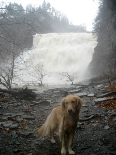 Honey the Golden Retriever is not happy in front of Ithaca Falls.