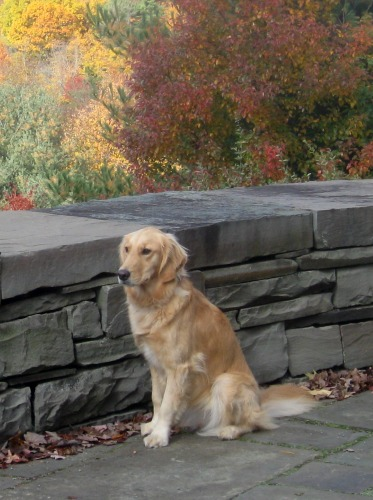 Honey the golden retriever has a lot to be thankful for.