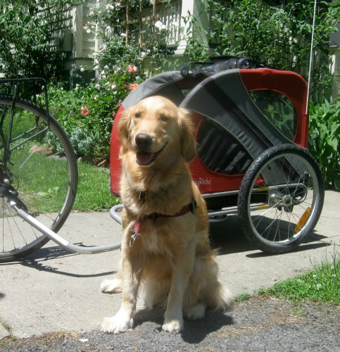 Honey the golden retriever poses in front of her bike cart.