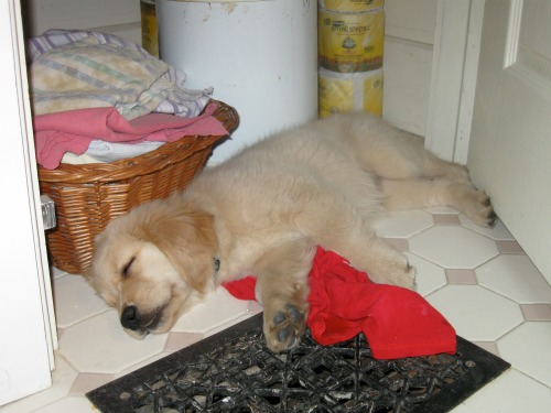 Honey the golden retriever sleeps perfectly in the linen closet.