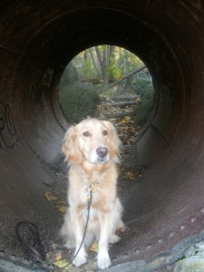 Honey the Golden Retriever is the gold at the end of the tunnel.
