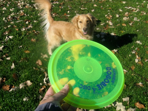 Honey the Golden Retriever wants to catch the Dogobie flying disc.