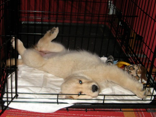 Honey the Golden Retriever looks glamorous in her crate.