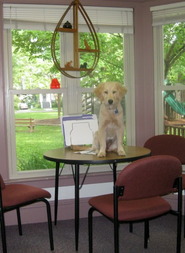 Honey the golden retriever puppy stands on a table.