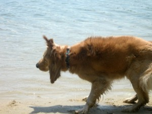 Honey the golden retriever shakes water out of her fur at the beach.