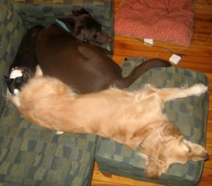 Honey the Golden Retriever naps with a Boston Terrier and Chocolate Lab.