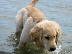 Honey the golden retriever goes swimming as a puppy.