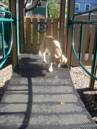 Honey the golden retriever does her own dog sport gymnastics.