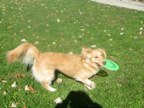 Honey the golden retriever shows off the dog sport of catching a flying disc.