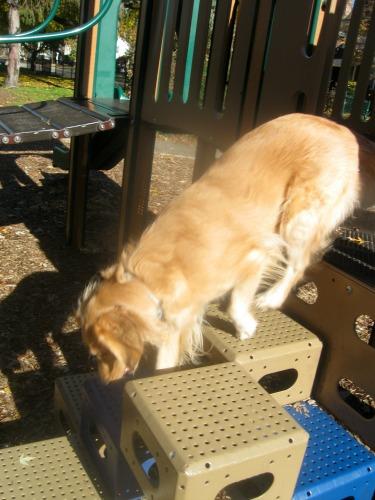 Honey shows off her dog sport gymnastics.