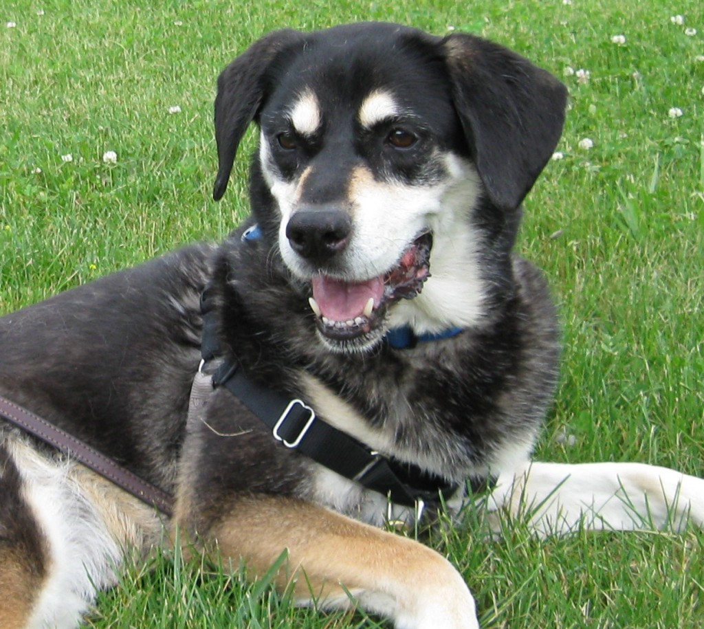Shadow the mixed breed dog has a pretty smile.
