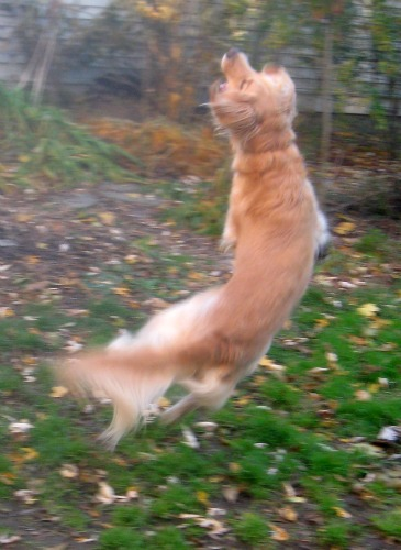 Honey the golden retriever is a dancing blur of gold.