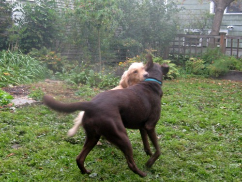 Honey the golden retriever wrestles with chocolate lab.