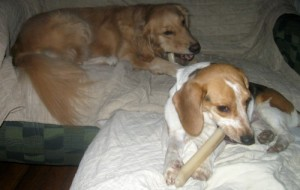 Honey and Ginny the foster dog chew their bones at Christmas.