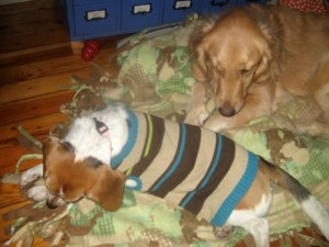 Honey the golden retriever and Ginny the foster dog are trained well enough to be together.